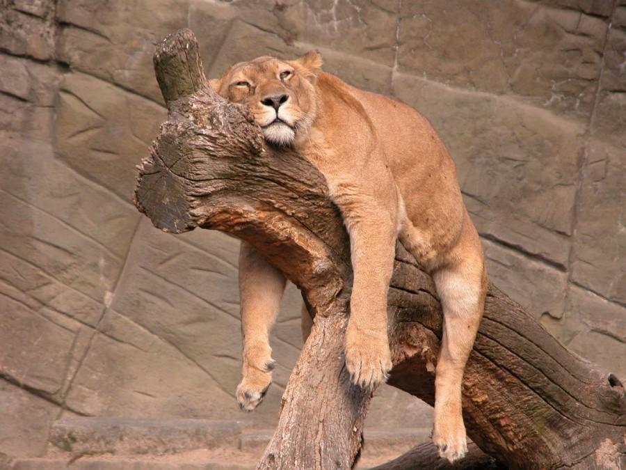 sleepy+tiger[1]